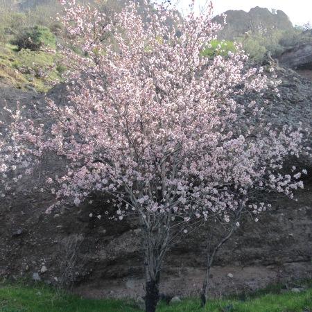 Mandelbaum bei Tejeda in Blüte