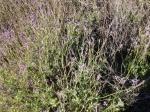 Duftender Lavendelteppich