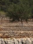 Olivenhain auf dem Weg nach Esporles
