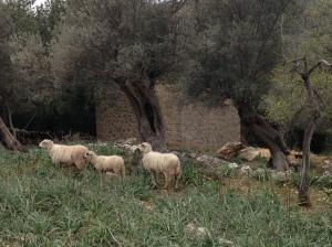 Wandern auf Mallorca: Malerisch herumstehende Schafe
