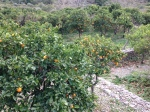 Orangenhain bei Sóller