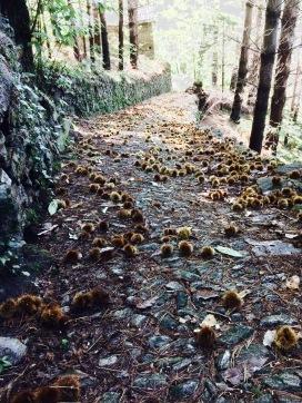 Wandern am Comer See: Waldweg durch einen Maronenhain