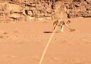 Doppelköpfiges Dromedar - Fata Morgana im Wadi Rum in Jordanien