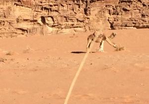 Wanderungen durch Jordanien. Doppelköpfiges Dromedar in der Wüste Wadi Rum