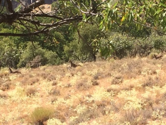 Ein Rudel Steinböcke kreuzt unseren Weg downhill